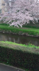 事務所の桜1.jpg